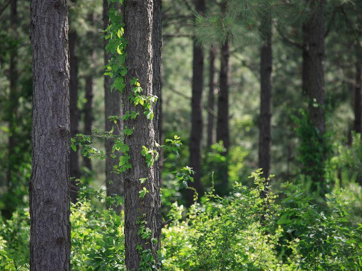 Weyerhaeuser_PineForestinBrokenBowSMALL_Oklahoma