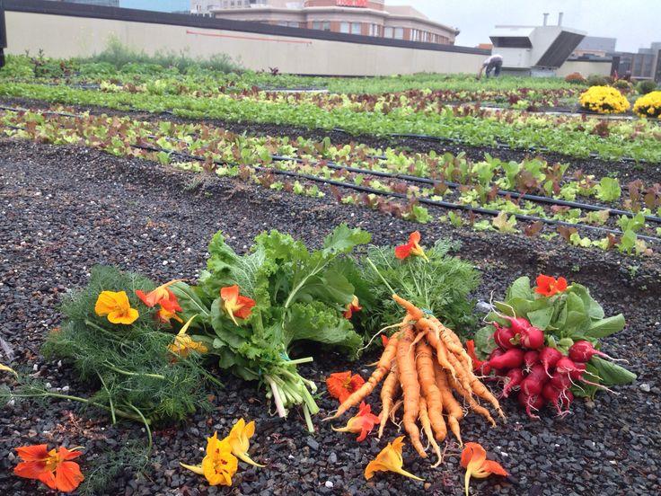 Bethesda Row_Rooftop Farm (1)